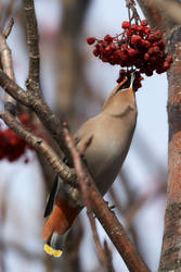Bohemian Waxwing - Reach for it by JestePhotography