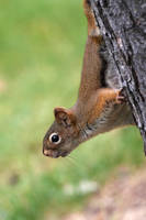 American Red Squirrel - Bottoms Up by JestePhotography