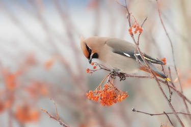 Bohemian Waxwing - Dreams of light by JestePhotography