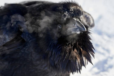 Raven - Winter's Breath by JestePhotography