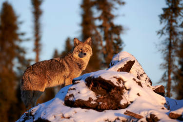 Coyote - Northern Forests by JestePhotography