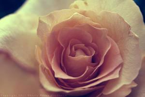 Rose VII by reinah