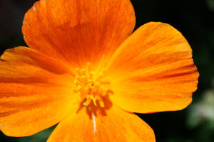 Orange Flower by DoggyArt
