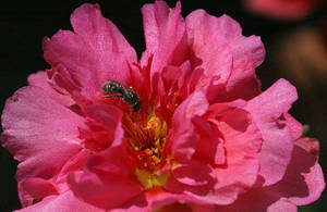 Portulaca flower with tiny bee by Kitzira