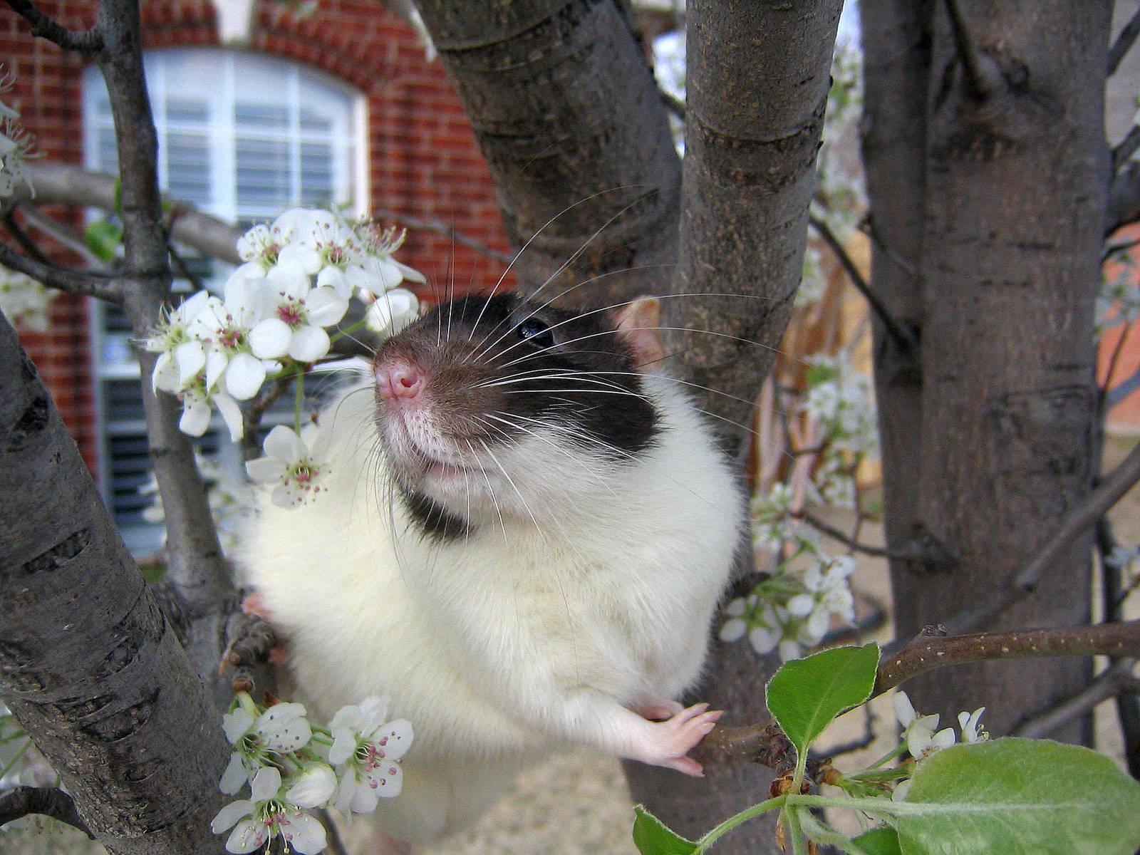 Spring and Rats Series - Vlad by Kitzira
