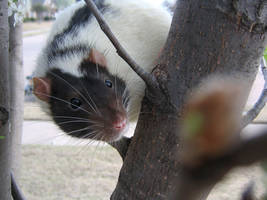Spring and Rats Series - Vlad2 by Kitzira