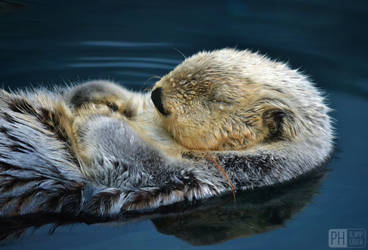 dreaming otter by philipphuber