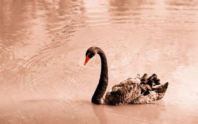 Black Swan by Pedrolifero