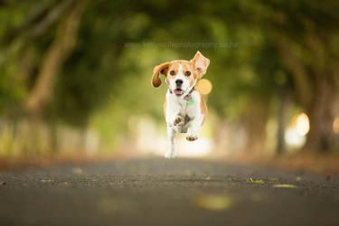 Bella the Beagle by KiwiTakeFlight