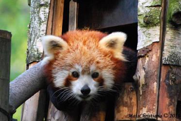 Red Panda by matschristiana