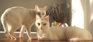 Cats by azuldeblasto