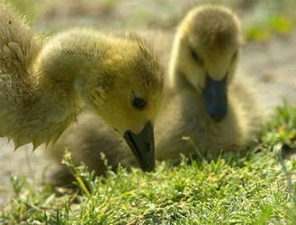Ducks by dzaninov