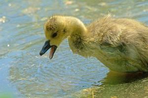 Duck by dzaninov