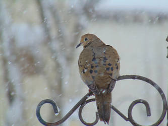 Mourning Dove by usoutlaw