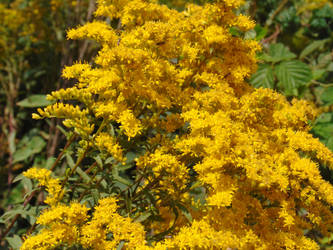 Goldenrod by usoutlaw