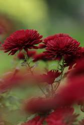 Chrysanthemum, 'Barca Red' by Sehlley