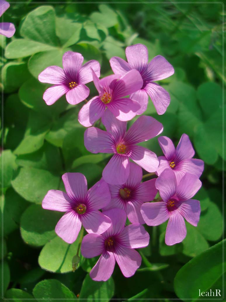Purple Clover Flowers By Cuzzycutegirl On Deviantart