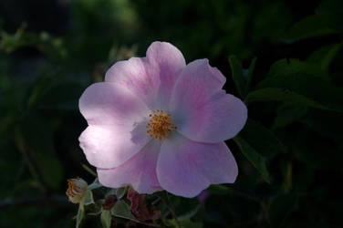 Intense pink II by Arayashikinoshaka