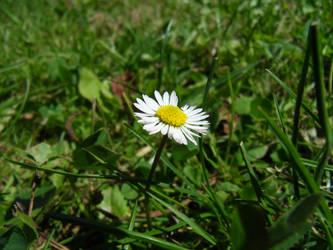 Daisy by vksDC