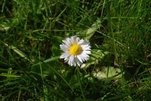 Flowers - Daisy 1 by parsek76
