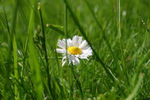 Flowers - Daisy 2 by parsek76