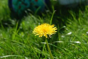 Flowers - Dandelion by parsek76