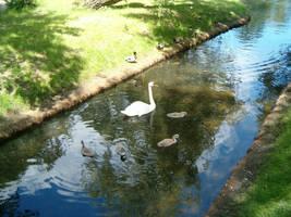 Swan family by parsek76