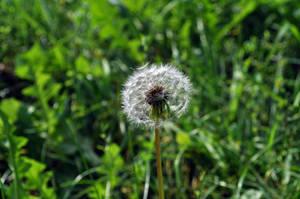 Flowers - Dandelion 02 by parsek76
