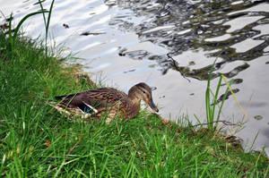 Ducks 05 by parsek76