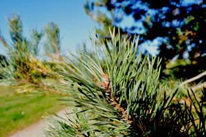 Pine branch by parsek76