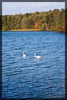 Swans by parsek76