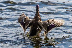Duck 09 by parsek76