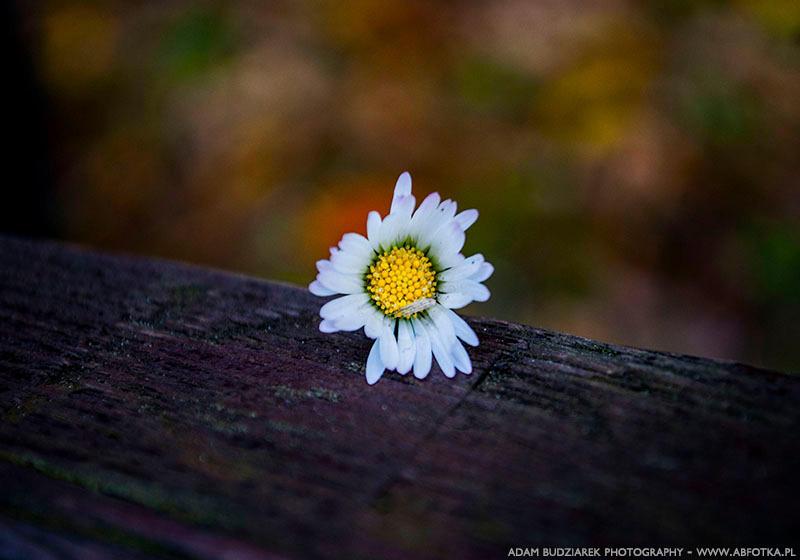 Single flower by parsek76