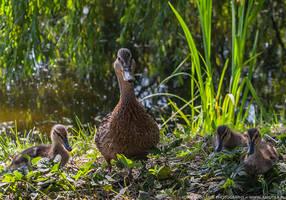Duck with ducklings by parsek76