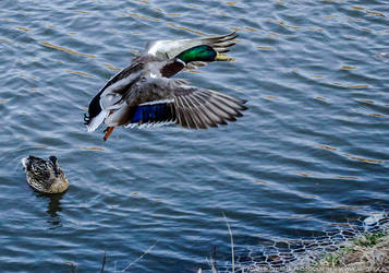 Duck flying away by parsek76