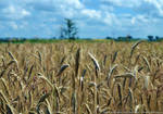 Field of wheat by parsek76