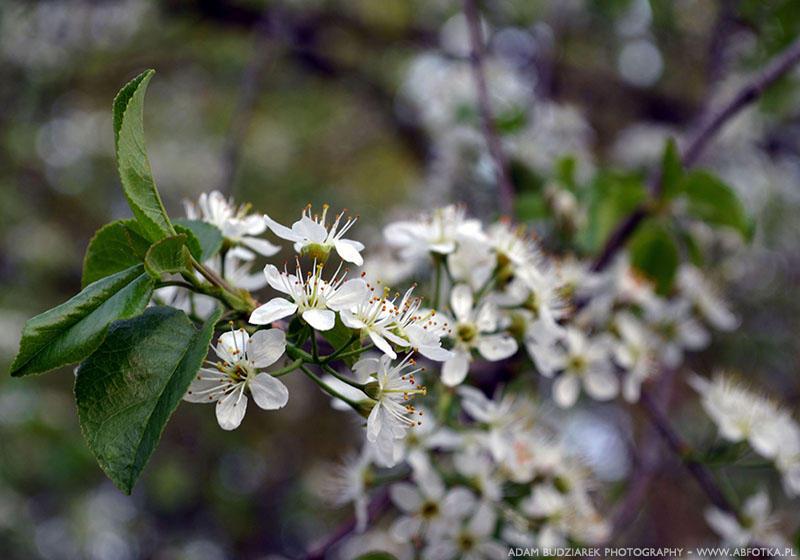 White flowers by parsek76