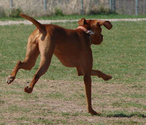 Hungarian Vizsla Dog Running by FantasyStock