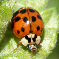 Asian Harlequin Lady Beetle by FantasyStock