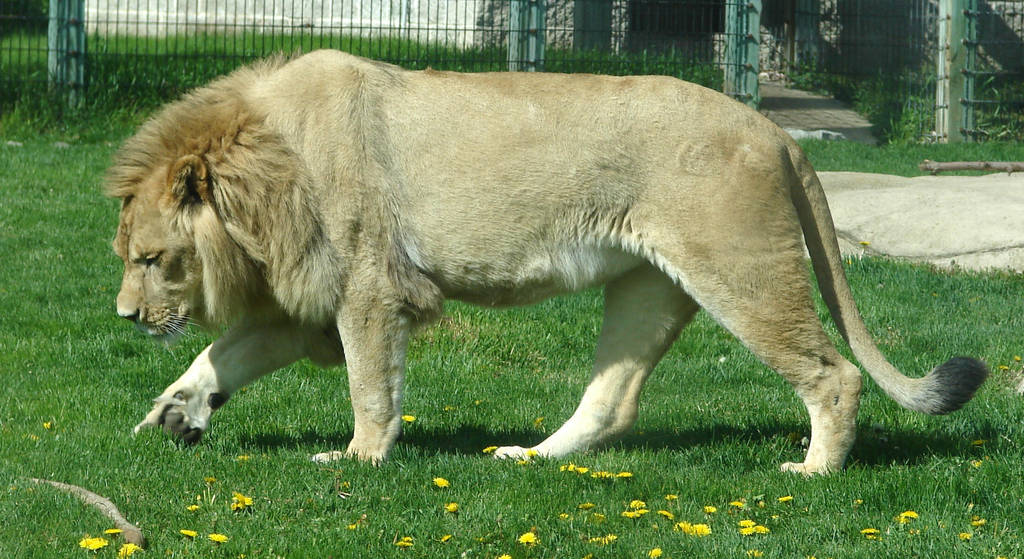 male lion weight - 1024×559