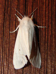 White Virginian Tiger Moth by FantasyStock