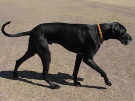 Black Great Dane Dog 3 by FantasyStock