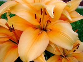 Tiger Lilies 2 by FantasyStock