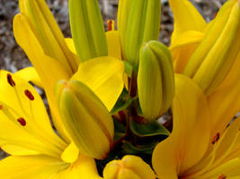 Yellow Lilies 1 by FantasyStock