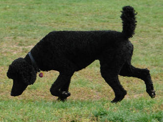 Black Standard Poodle 05 by FantasyStock