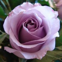 Purple Rose for Tehkella by FantasyStock