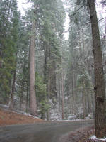 Sequoia Trees Near the Road by FantasyStock