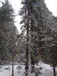 Sequoias in California 5 by FantasyStock