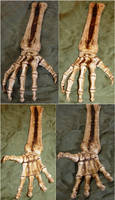 Skeletal Hand Bones + Arm by FantasyStock