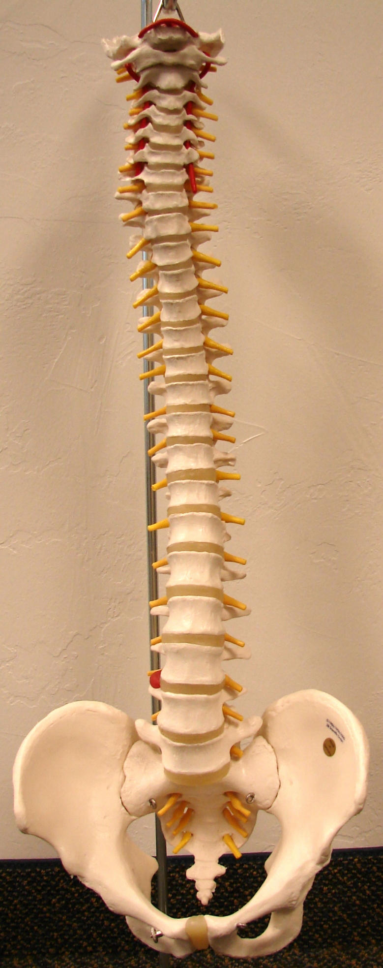 Spinal Column Front View by FantasyStock